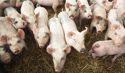 Chip Mong Invests in Pig Feed and Farm